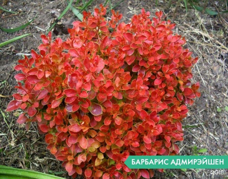 Барбарис адмирейшн описание и фото выращивание и уход в открытом грунте 78
